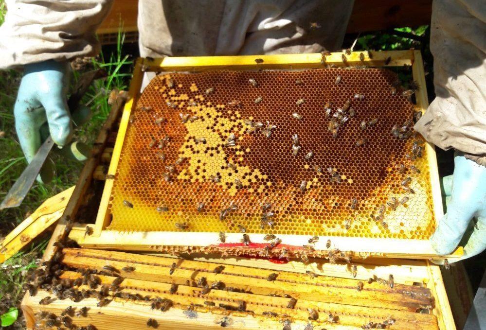 La récolte du miel des abeilles de la ruche de Mary